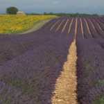 Purple Prose And The Glorious Lavender Fields Of Provence