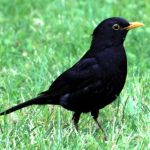 Blackbirds in the Garden | Birds of a Feather