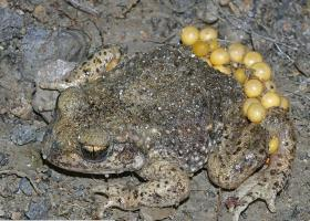 That little toad with an electronic beep.
